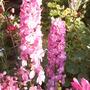 Delphinium (pink) (Delphinium elatum (Delphinium))