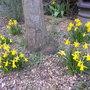 Miniature Daffodils