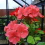 Flowering cuttings now in greenhouse.