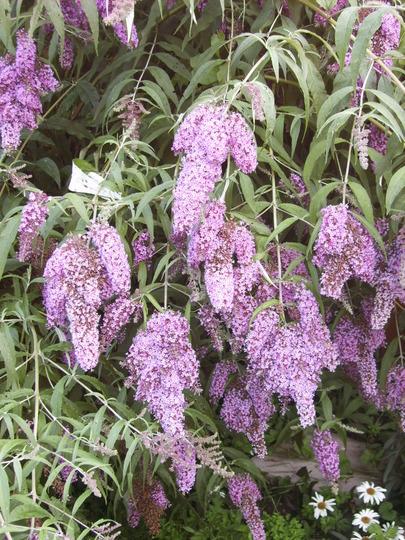 Buddleja (Buddleja davidii (Butterfly bush))