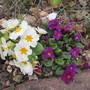 Primula varieties (Primula)
