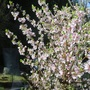 flowering early