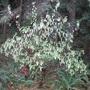 Ribes sanguineum 'White Icicles'    - inherited