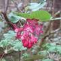 Ribes sanguineum (Red Flowering Currant)
