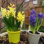 Hyacinths  Yellow one is Yellow  Stone  Blue one no name it was from Tesco.