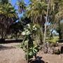Ficus lyrata - Fiddleleaf Fig