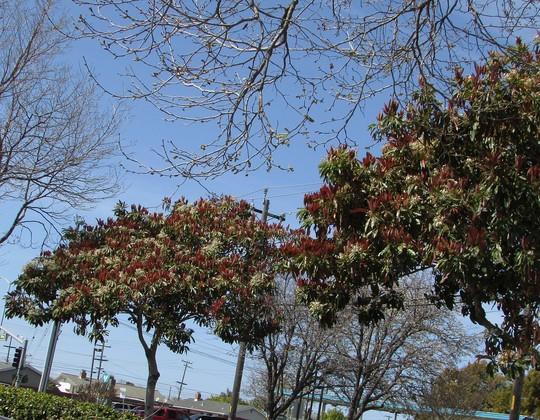 Bronze Loquat in bloom. (Eriobotrya deflexa.)