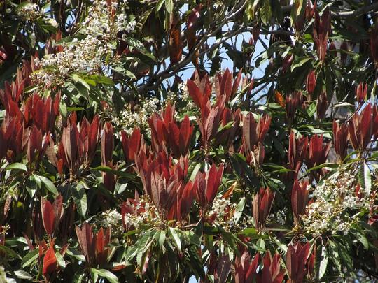 Bronze loquat in red. (Eriobotrya deflexa)