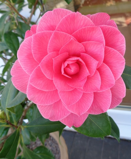 Potted Camellia