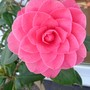 Dsc00169_2_potted_camellia