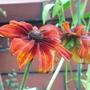Rudbeckia - Oct 2007 (Rudbeckia hirta (Black-eyed Susan))