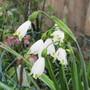 Leucojum Gravetyre Giant. (Leucojum aestivum (Loddon Lily))