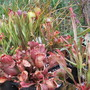 The Saracenias are back in the pond (Sarracenia purpurea & flava)