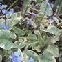 Brunnera microphylla Hadspen Cream (Brunnera macrophylla (Brunnera))