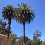 Phoenix canariensis - Canary Island Palm
