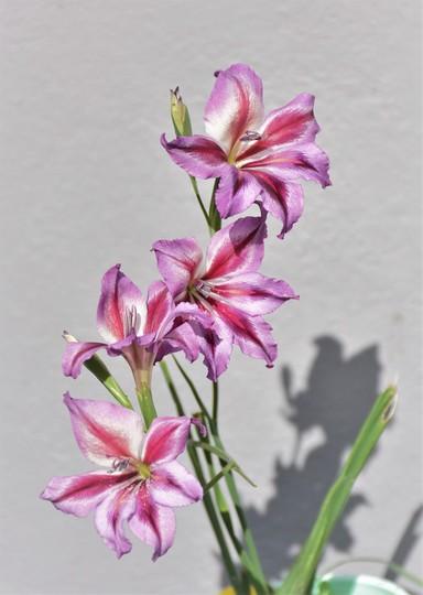 Gladiolus tristis (Gladiolus tristis)