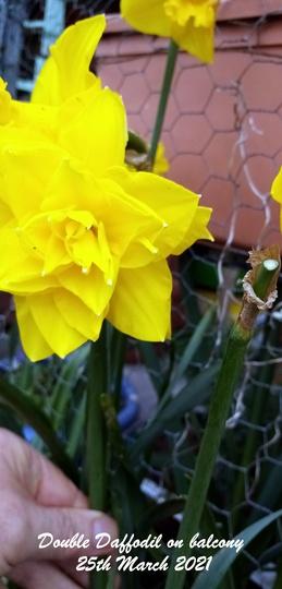 Double Daffodil on balcony 25th March 2021 (Daffodil)
