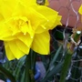 Double_daffodil_on_balcony_25th_march_2021