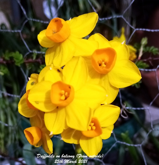 Daffodils on balcony From outside 25th March 2021 (Daffodil)