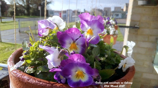 Violas with raindrops on balcony 25th March 2021