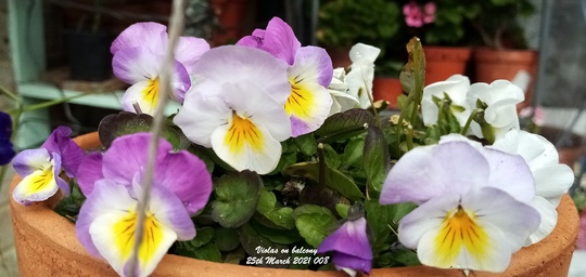 Violas on balcony 25th March 2021 008