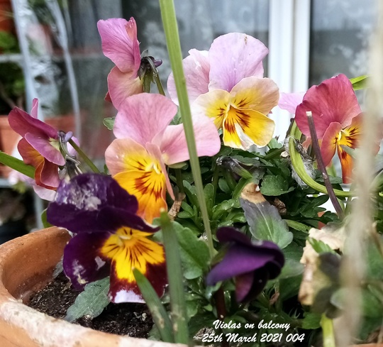 Violas on balcony 25th March 2021 004
