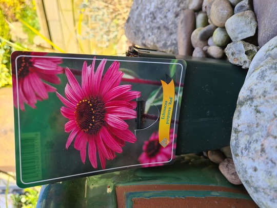Echinacea - my second attempt. 🤞 (Echinacea purpurea (Coneflower))