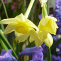 Narcissus and Hyacinth