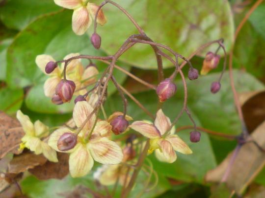 Epimedium 'Black Sea' (Epimedium 'Black Sea')
