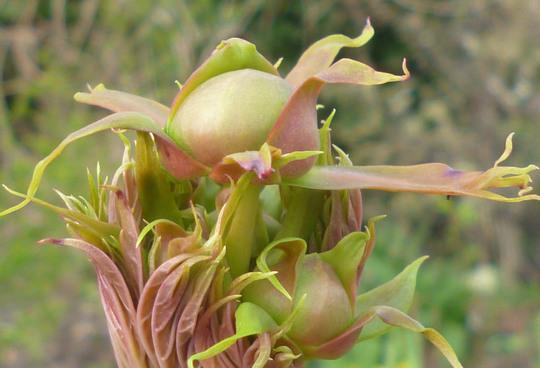 P lutea (Paeonia rubra)