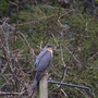 Sparrowhawk on the lookout