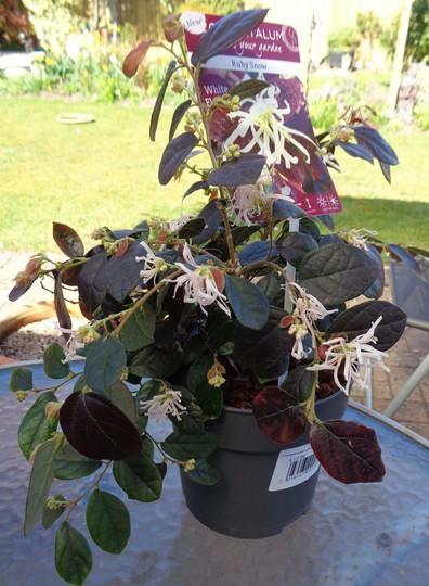 Loropetalum  chinense 'Ruby Snow' (Loropetalum)