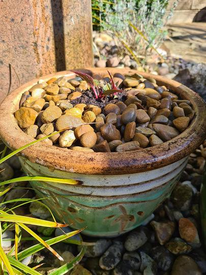 Echinacea eventually potted up (Echinacea purpurea (Coneflower))