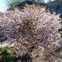 Prunus_incisa_kojo_no_mai