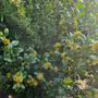 Little flowers on buxus. (Buxus sempervirens (Common box))