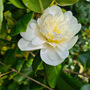 White flowering camellia
