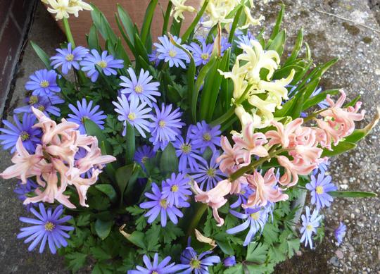Anemone blanda and hyacinths (Anemone blanda)
