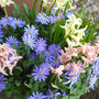 Anemone_blanda_and_hyacinths