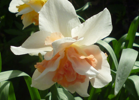 pretty double daffodil
