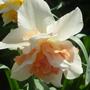 Narcisuss_fancy_double