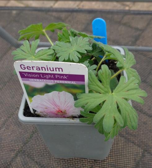 Geranium 'Vision Light Pink'