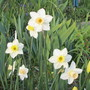 Narcissus unknown variety (Narcissus)