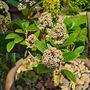 Skimmia japonica starting to flourish....I hope. (Skimmia japonica (Skimmia))