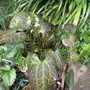 Beesia calthifolia (Beesia calthifolia)