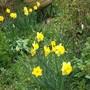 Narcissus Golden Trumpet (Narcissus)