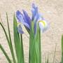 Dutch Iris (Iris xiphium (Dutch Iris))