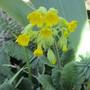 Cowslip (Primula veris (Cowslip))
