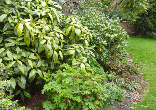 Shady border shrubs