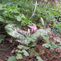 Erythronium dens-canis (Erythronium dens-canis (Dog Tooth Violet))