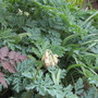 Dicentra formosa  (Langtrees?) (Dicentra formosa (Western Bleeding Heart))